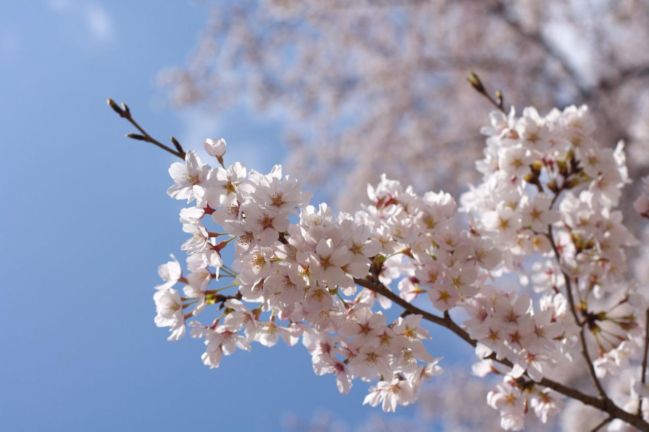 Yahoo!地図で「桜の開花情報」がスタート