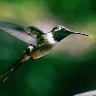 コスタリカハチドリ