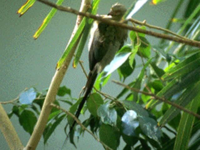 アカガオネズミドリ