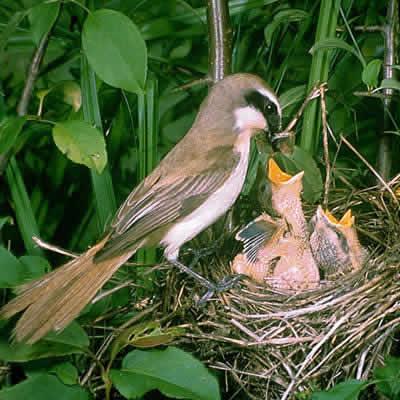 アカモズ - 鳥類 - 動物 - Y!きっず図鑑