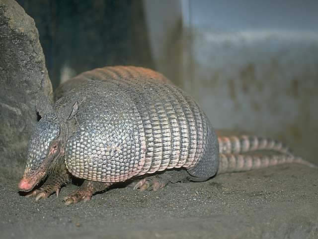 ココノオビアルマジロ