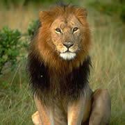 マサイライオン
