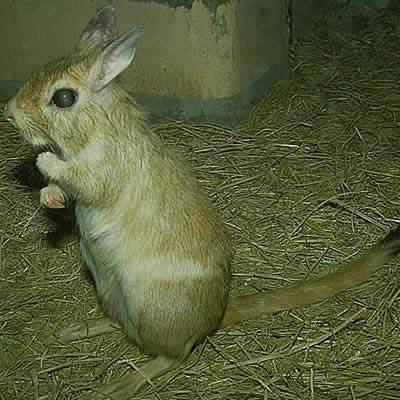 トビウサギ