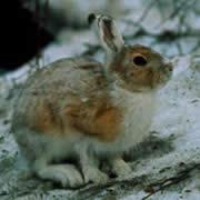 トウホクノウサギ
