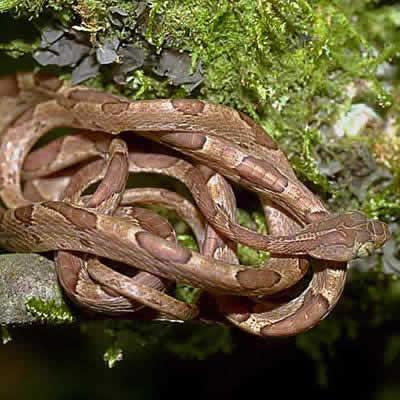 マルガシラツルヘビ
