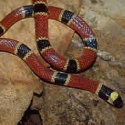 チュウベイサンゴヘビ