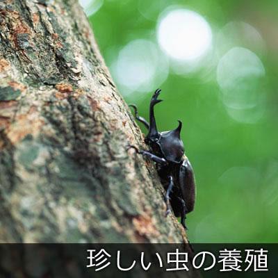 珍しい虫の養殖
