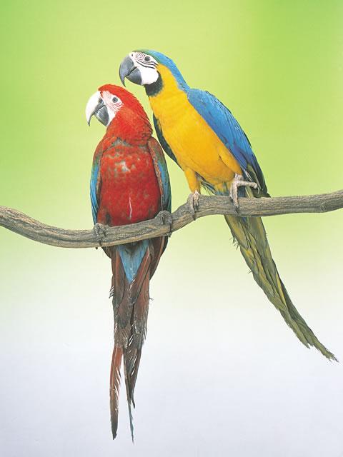 コンゴウインコ