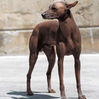 ペルービアン・ヘアレス・ドッグ