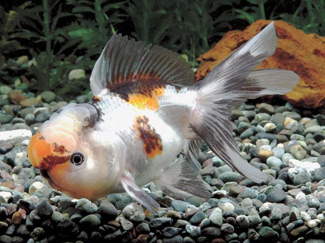 コウトウ羽衣青文魚
