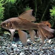 テツギョ(鉄魚)