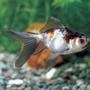 羽衣青文魚