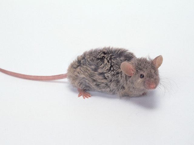 マキゲマウス