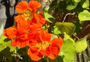 オレンジ色の花をつけるナスタチューム