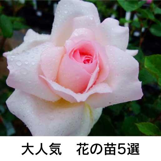 大人気 花の苗5選