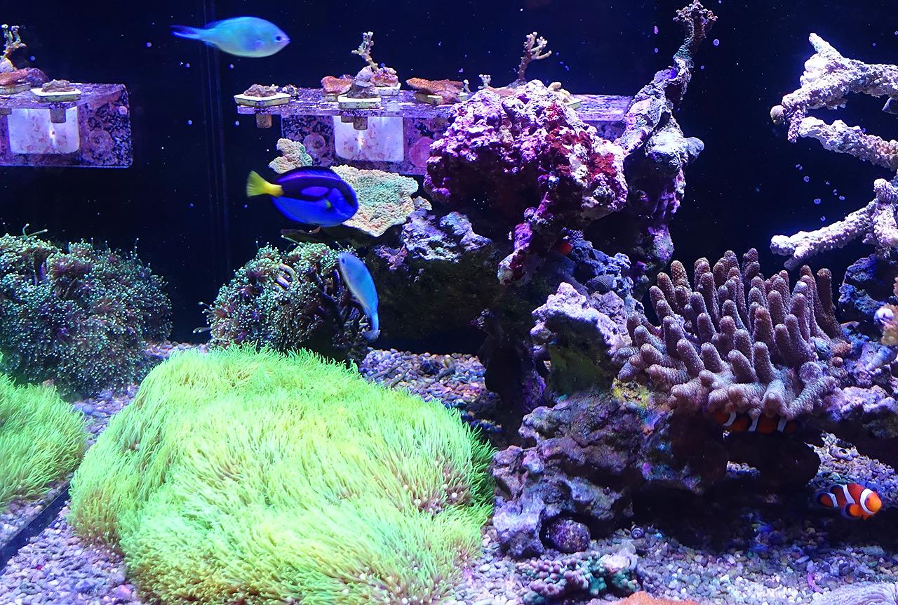 虎ノ門のイノカオフィスには、さまざまな水槽でサンゴが育てられている