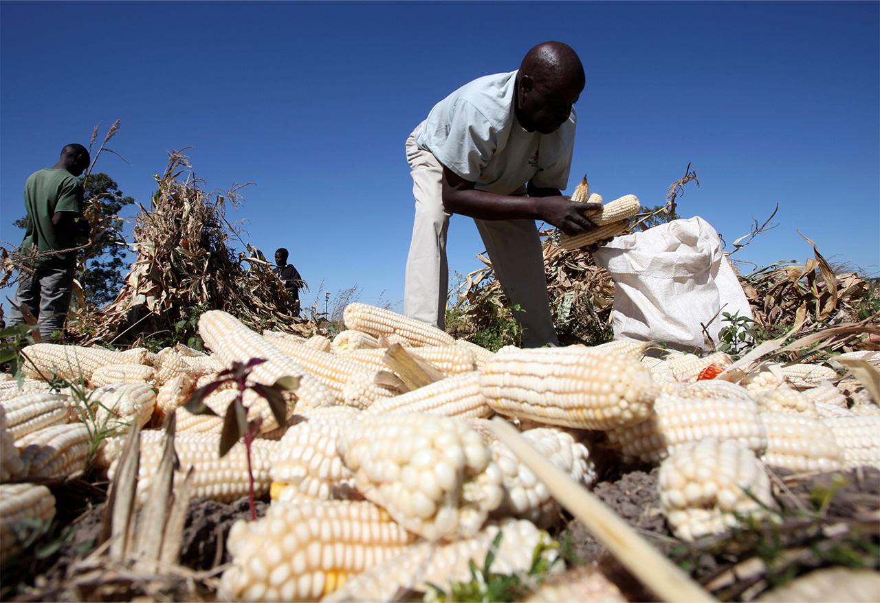ジンバブエでトウモロコシを収穫する農民