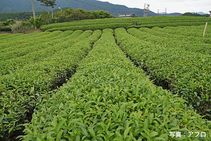 静岡県島田市 川根茶