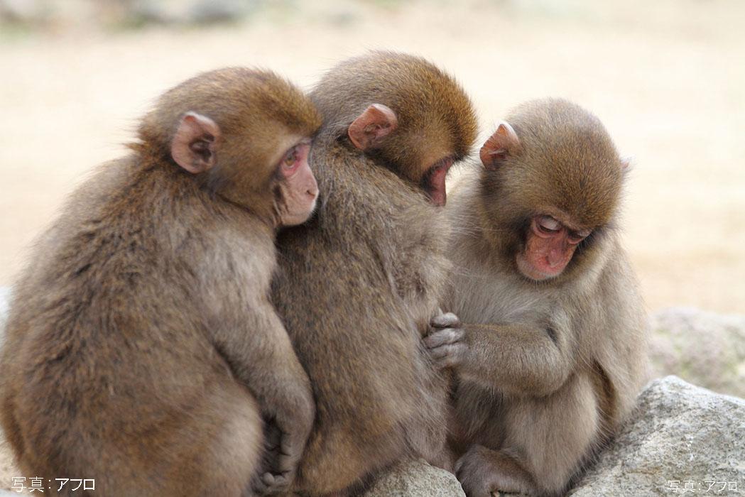高崎山自然動物園の子猿