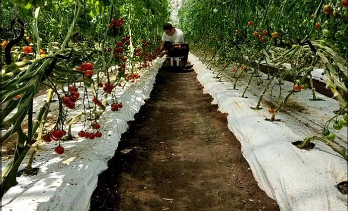 トマト収穫の風景
