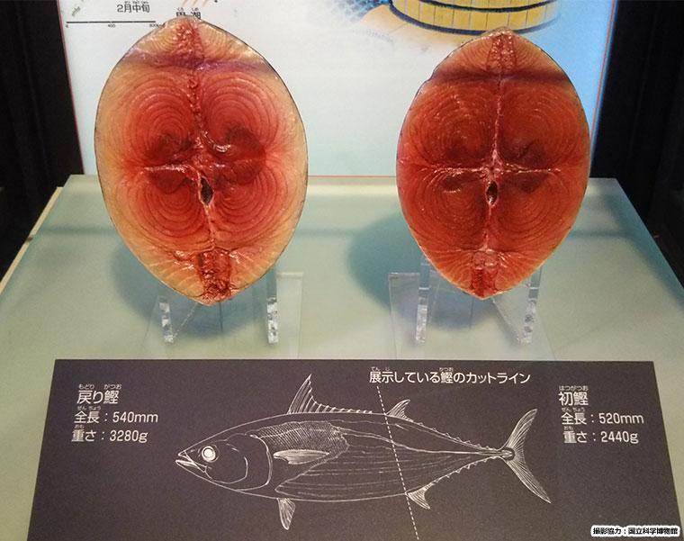 カツオの断面模型