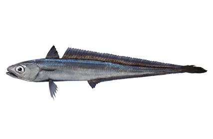 白身魚フライの魚の姿の写真を集めてみた