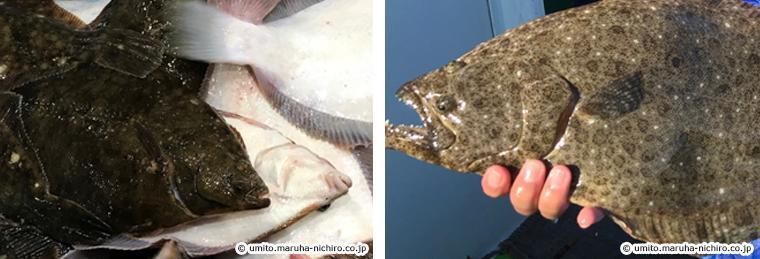 左:おちょぼ口のカレイ 右:鋭い歯が並んでいるヒラメ