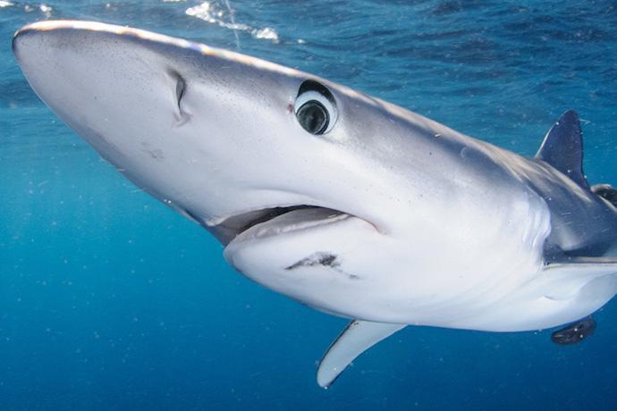 フカヒレだけではない、おいしいサメのすすめ