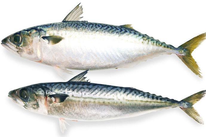 日本で漁獲されるサバはどんなサバ? 美味しさと資源量の話