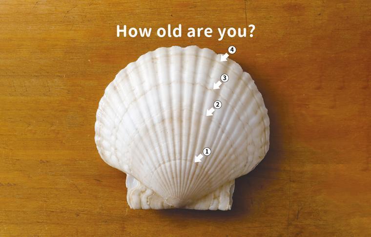 ホタテの貝殻
