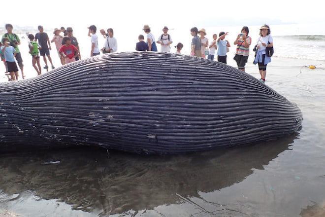 年間300頭以上が海岸に。クジラやイルカが、私たちに投げかけていること