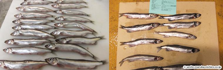 左:産卵期以前のオス、右:産卵期前後のオス