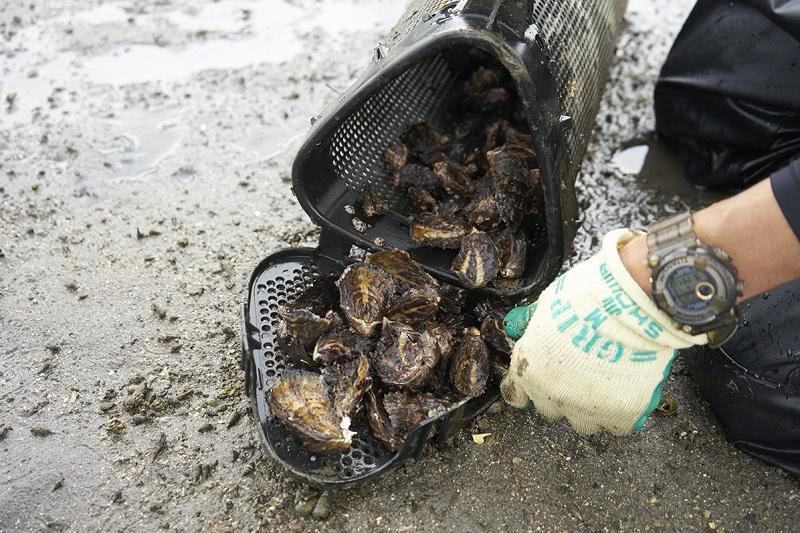 養殖カゴの中の牡蠣