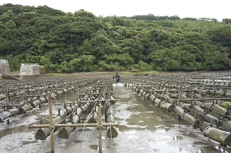 干潟に設置される牡蠣カゴ