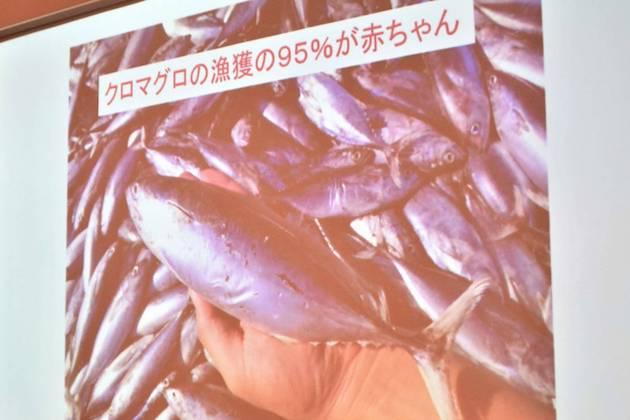 日本のクロマグロ漁、95%は赤ちゃんを乱獲 いまマグロに何が起きているのか?