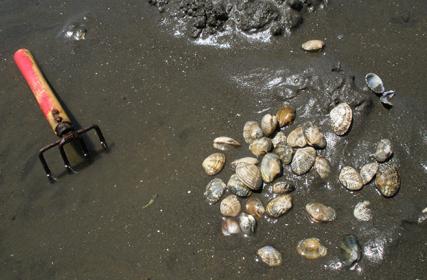 アサリは美味しいだけではなく、海の環境保護にも役立っています
