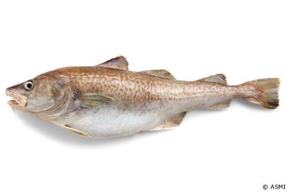 マダラ(真鱈)、オスのほうが価値ある魚