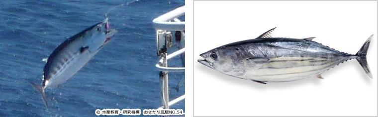 左:釣った直後のカツオ(横じま) 右:売場で目にするカツオ(縦じま)