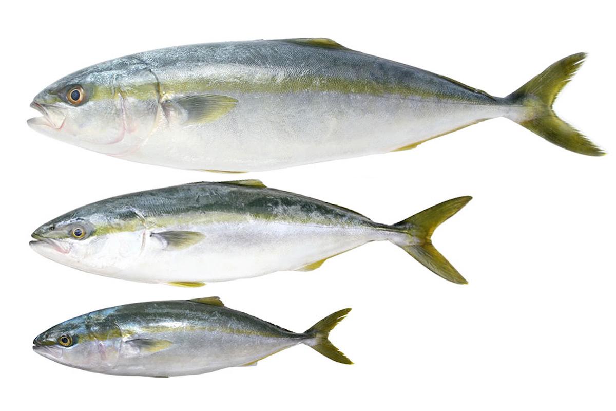 魚の名前いろいろ。出世魚と名前が変わる魚たち