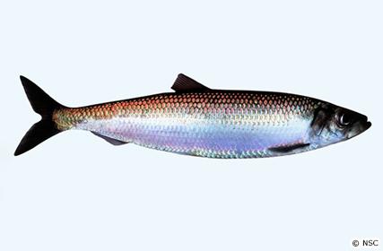 骨まで愛される魚、ニシン