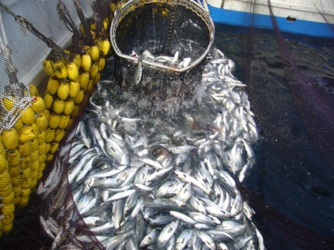 大漁のスズキの画像