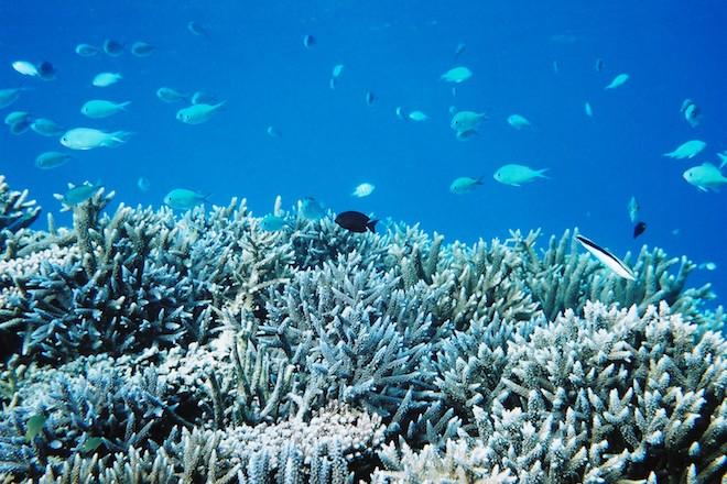 石垣島の健全なサンゴの写真