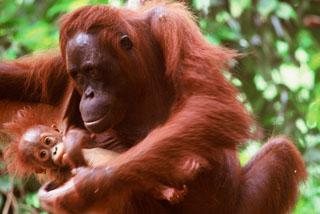 今、絶滅寸前の「森の住人」という意のオランウータン (C)WWF-Canon / Alain COMPOST