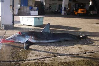 [サメ類資源実態調査へご支援ください]の画像