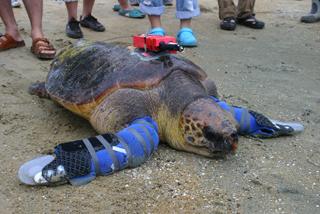 人工ヒレを装着して砂浜を歩く悠ちゃん(2009年9月12日)