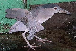 [傷付いた野鳥の野生復帰に力を貸して下さい]の画像