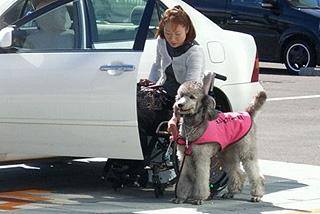 介助犬は、どこへ行くにもユーザーさんと一緒です