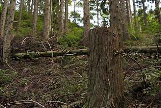手入れが行き届かず荒廃した日本の人工林