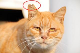 野良猫のTNR活動(捕獲し不妊去勢手術をして元の場所に戻す活動)も支援しています。手術済みであることを示すために、耳先を小さくカット。その姿から「さくらねこ」と呼ばれます。野良猫の過剰繁殖を予防し、殺処分減少が期待されます。