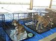 東日本大震災の際には非常に多くの保護犬が生まれました。
